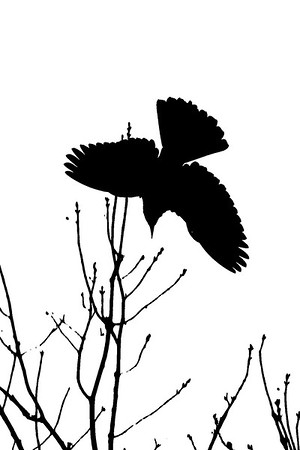 Blackbird and Branches