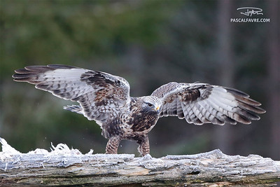 Rough-legged buzzard/Buse pattue