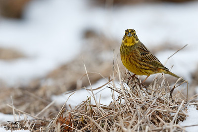 Bruant jaune/Yellowhammer