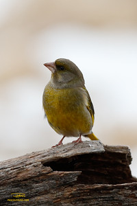 Verdier d'Europe/European greenfinch