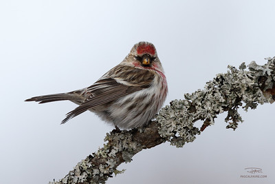 Sizerin flammé/Common redpoll