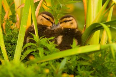 Seattle Arboretum Wetlands mallard ducklings