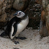 Magellenic-penguin-adolescent,-Carcass-Island,-Falkland-Islands
