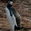 Gentoo-penguin-3,-Carcass-Island,-Falkland-Islands