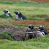 Magellanic-pengiuns-in-burrows,-Carcass-Island,-Falkland-Islands