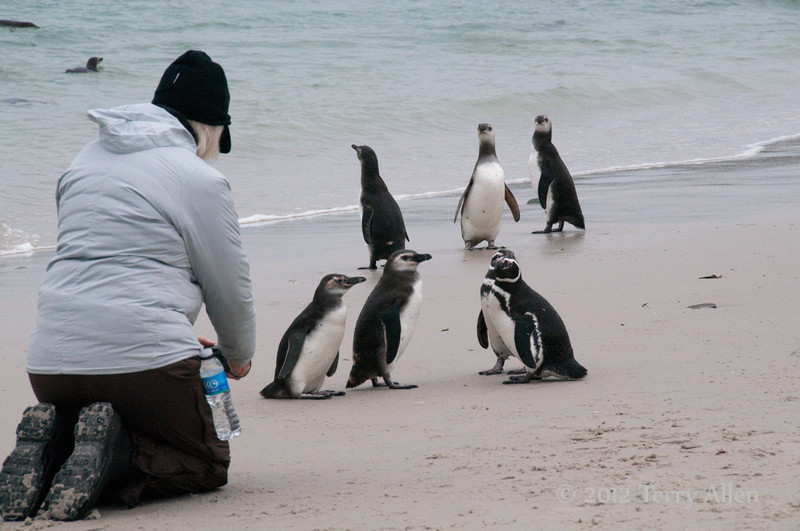 Communing-with-magellinic-penguins,-Carcass-Island,-Falkland-Islands