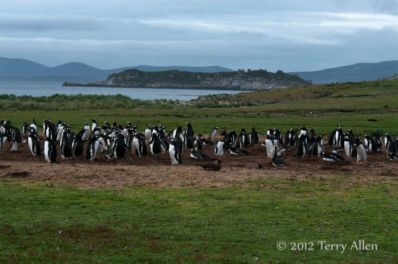 Gentoo-penguin-colony-2,-Carcass-Island,-Falkland-Islands