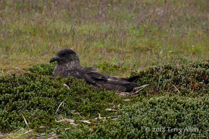 Skua-on-nest,-Carcass-Island,-Falkland-Islands