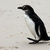 Young-magellanic-penguin-on-beach,-Carcass-Island,-Falkland-Islands
