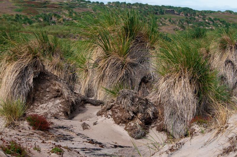 Bunch-grass,-Carcass-Island,-Falkland-Islands