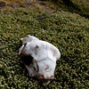 Sheep-skull,-Carcass-Island,-Falkland-Islands
