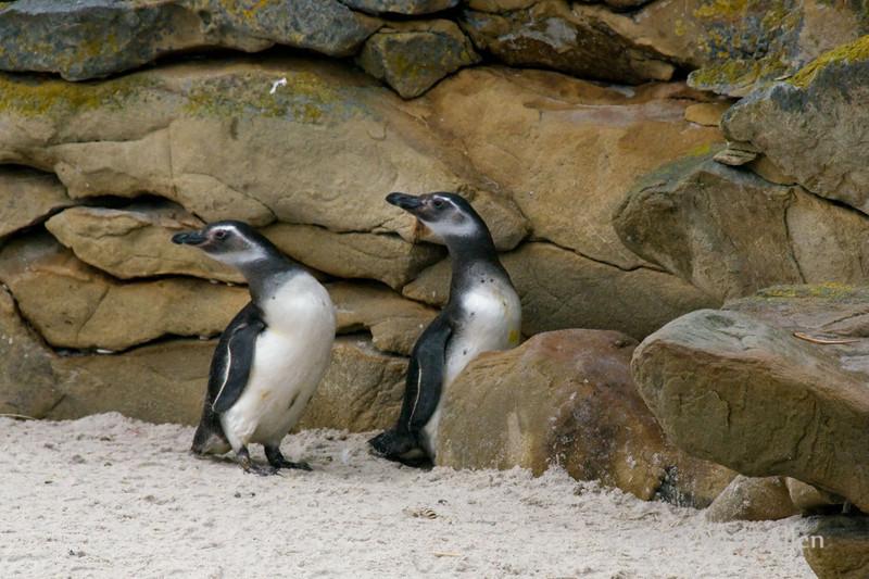 Young-magellanic-pengiuns,-Carcass-Island,-Falkland-Islands