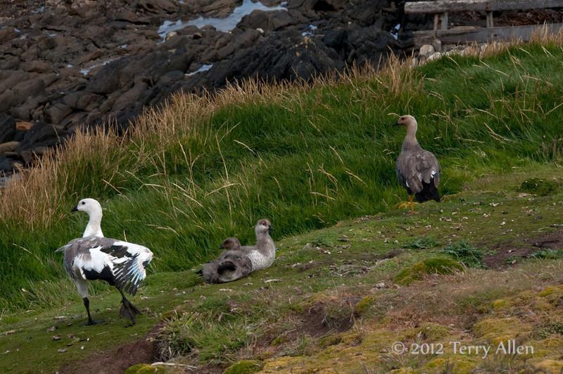 Upland-goose-family,-Carcass-Island,-Falkland-Islands