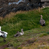 Upland-goose-family,-Carcass-Island,-Falkland-Islands