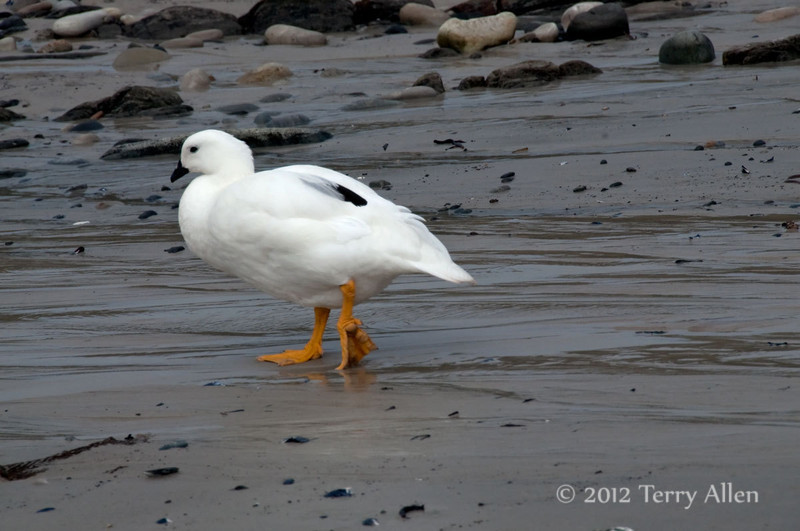 Male-kelp-goose,-Carcass-Island,-Falkland-Islands