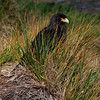 Caracara-2,-Carcass-Island,-Falkland-Islands