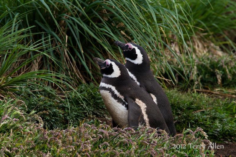 Magellanic-pengiun-pair-in-grass,-Carcass-Island,-Falkland-Islands