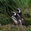 Magellanic-pengiun-pair-in-grass,-Carcass-Island,-Falkland-Islands