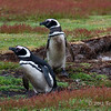 Magellanic-pengiun-pair,-Carcass-Island,-Falkland-Islands