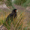 Caracara-1,-Carcass-Island,-Falkland-Islands