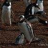 Gentoo-penguin-and-chick-1,-Carcass-Island,-Falkland-Islands