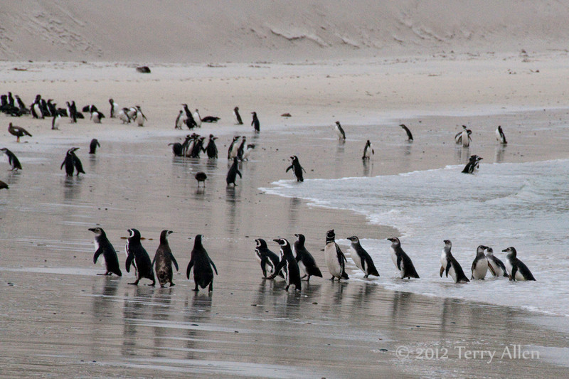 Magellenic-penguins-on-beach,-Carcass-Island,-Falkland-Islands