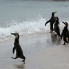 Gentoo and Magellenic-penguins-on-beach-2,-Carcass-Island,-Falkland-Islands