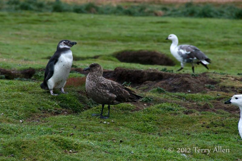 Magellanic-pengiun,-skua-and-uplands-goose,-Carcass-Island,-Falkland-Islands