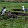 Magellanic-pengiun,-skua-and-uplands-goose,-Carcass-Island,-Falkland-Islands