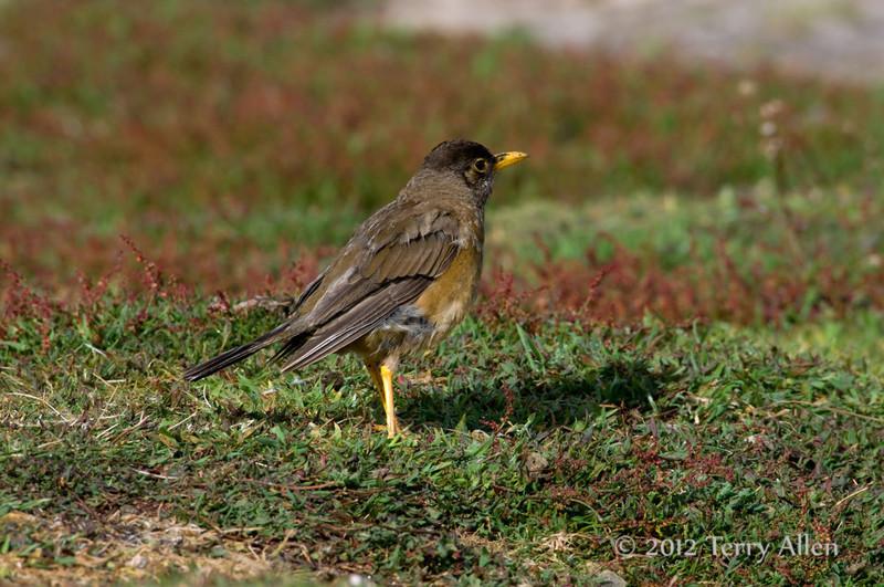 Faulkland-thrush,-Carcass-Island,-Falkland-Islands