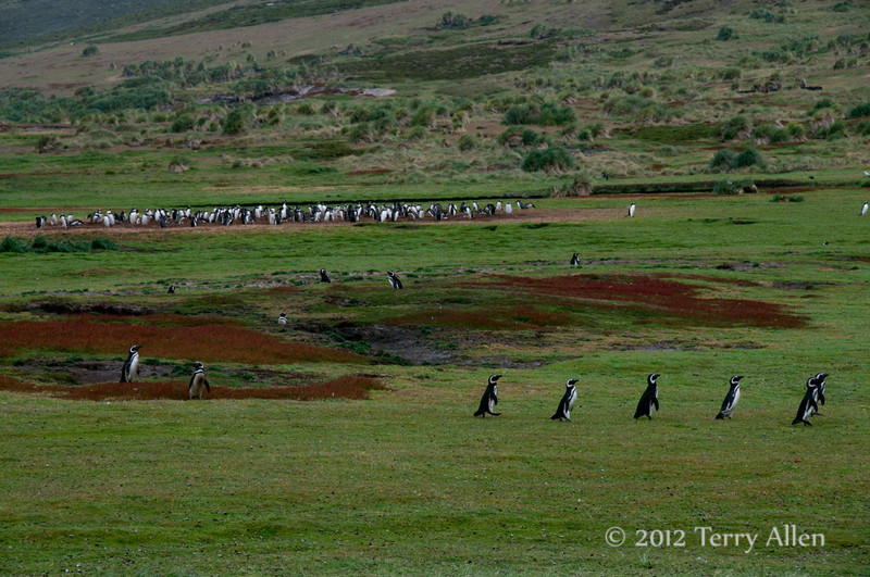 Gentoo-&-Magellenic-penguins-colonies,-Carcass-Island,-Falkland-Islands