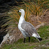 Male-upland-goose,-Carcass-Island,-Falkland-Islands