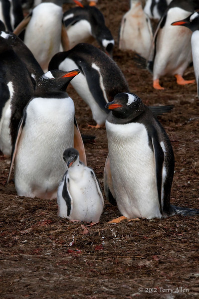 Gentoo-penguin-family,-Carcass-Island,-Falkland-Islands