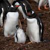 Gentoo-penguin-family,-Carcass-Island,-Falkland-Islands
