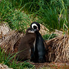 Magellenic-penguin-&-chick-1,-Carcass-Island,-Falkland-Islands