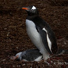 Gentoo-penguin-and-chick-3,-Carcass-Island,-Falkland-Islands
