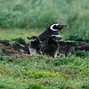 Magellanic-pengiun-with-pair-of-chicks,-Carcass-Island,-Falkland-Islands