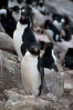 Rockhopper-penguins,-New-Island,-Falkland-Islands