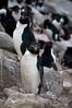 Rockhopper-penguins,-New-Island,-Falkland-Islands