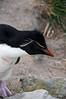 Rockhopper-penguin-4,-New-Island,-Falkland-Islands