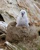 Black-browed-albatross-chick-2,-New-Island,-Falkland-Islands