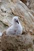 Black-browed-albatross-chick,-New-Island,-Falkland-Islands