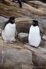 Rockhopper-penguin-3,-New-Island,-Falkland-Islands