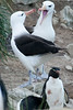 Black-browed-albatross-3,-New-Island,-Falkland-Islands