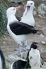 Black-browed-albatross-3,-New-Island,-Falkland-Islands