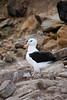 Black-browed-albatross,-New-Island,-Falkland-Islands