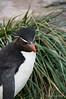 Rockhopper-penguin-5,-New-Island,-Falkland-Islands