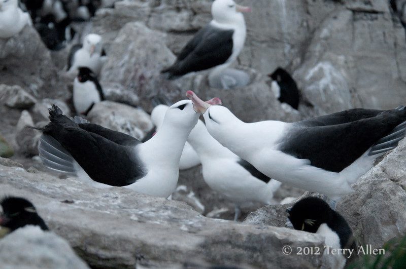 Black-browed-albatross-4,-New-Island,-Falkland-Islands