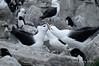 Black-browed-albatross-4,-New-Island,-Falkland-Islands