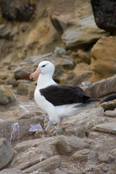 Black-browed-albatross-5,-New-Island,-Falkland-Islands